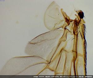 苍蝇翅膀装片