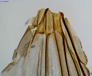 家蝇翅膀装片