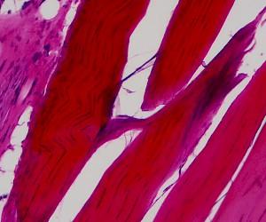 纤维结缔组织切片